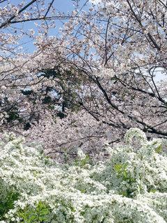 140402sakura_3.jpg